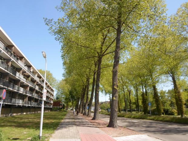 Bomen Vincent van Goghweg populieren op nominatie voor kap (40)