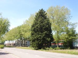 Bomen Vincent van Goghweg populieren op nominatie voor kap (7)