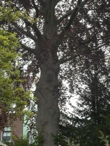 Krommenie Bruine Beuk van 250 jaar oud. Oudste boom van Krommenie Noorderhoofdstraat 26 (5)