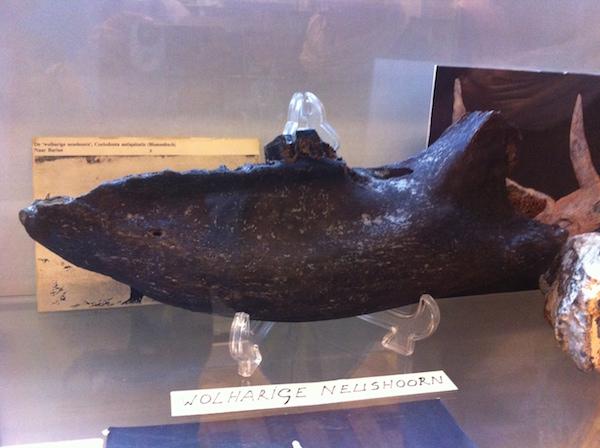 wolharige neushoorn archeologisch museum