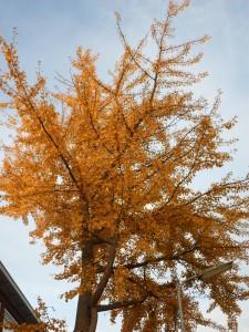 Jacobrekstraat Cingobomen in herfst (3)