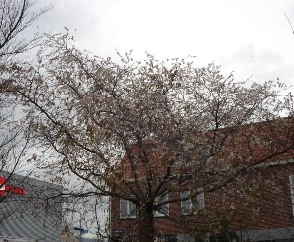 Prunus subhirtella autumn (3)