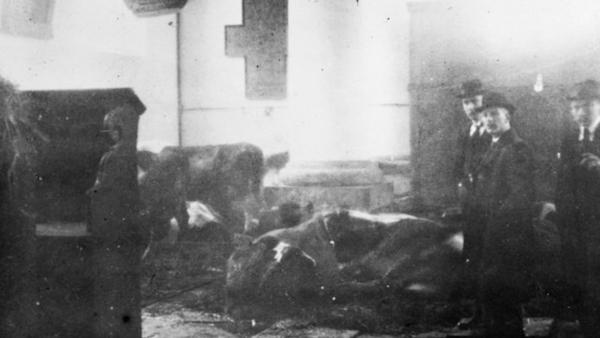 Koeien 1916