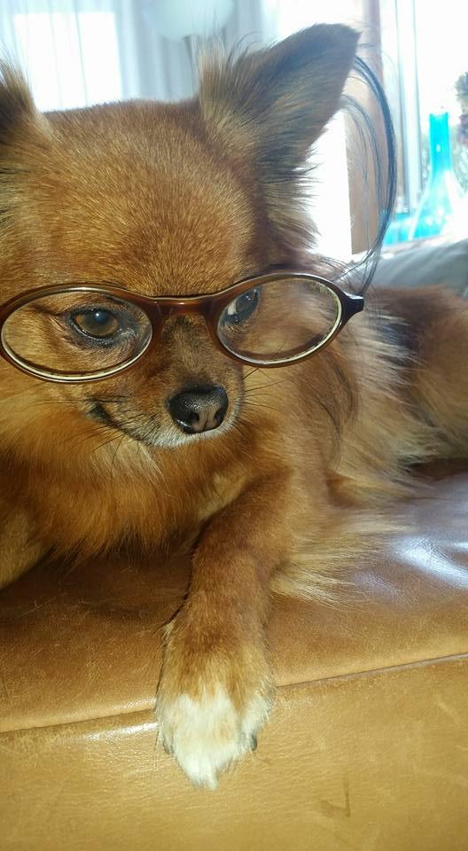 hondenbelasting-hondje-shylo