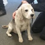 Bir de beagle