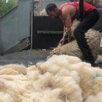 schapenscheren darwinpark