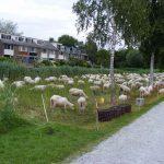 schapen Veenwetering