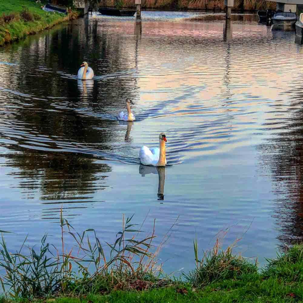 07 Elly 19-11-17 Zwaan-gezin Rooswijk Zaandijk
