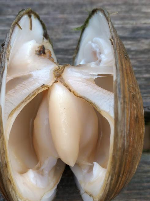 Geopende schelp met uitstulpbare voet in het midden