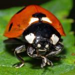 David-Sluis-Zevenstippelig-lieveheersbeestje