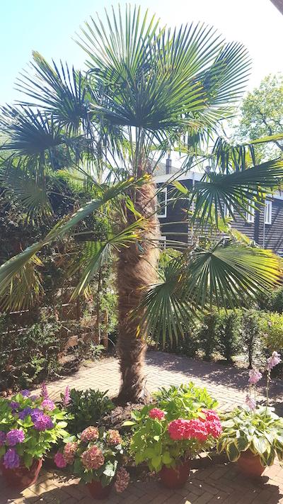 palmboom ruth