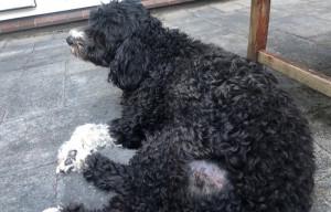 Berber Govaars hond aar